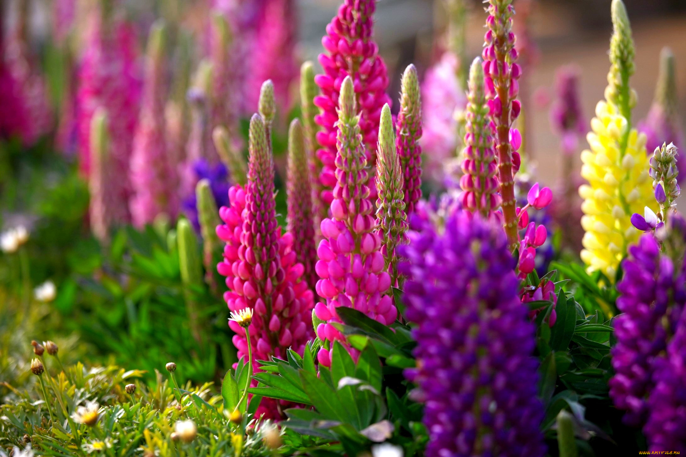 картинки для рабочего стола садовые цветы всего это